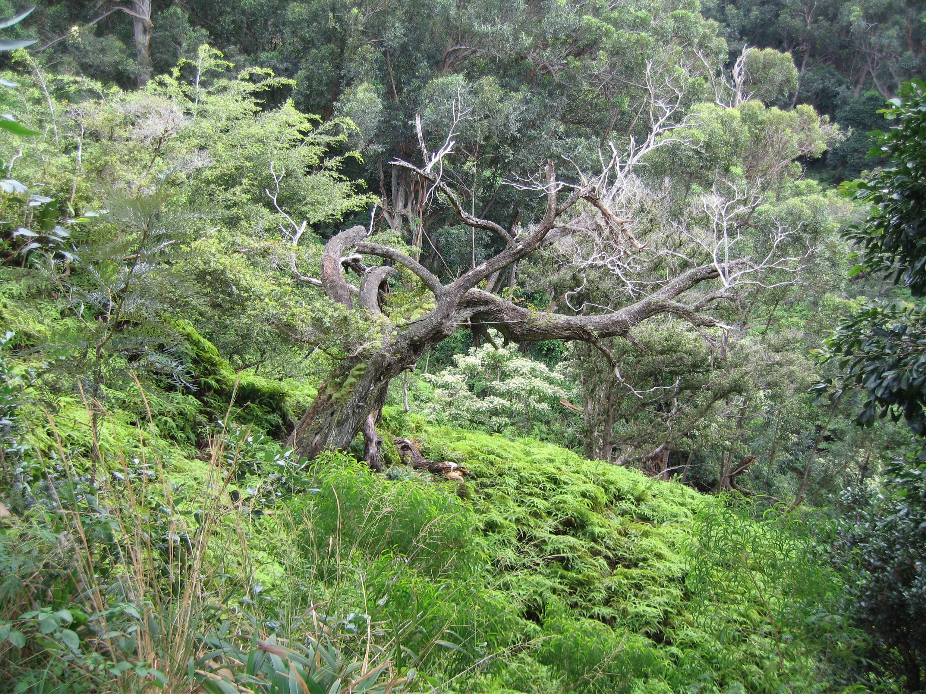 006 Fern Gulley Tree standard